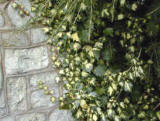 Hedera Golheart against wall