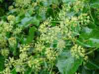 Hedera late flowering for bees pollen