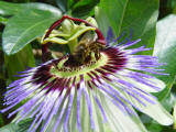 Passiflora caerulea - The common Passion Flower - Close up of spectacular flower.
