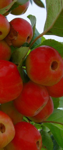Crab Apple - Malus John Downie Fruit