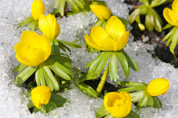 Winter aconite peeping through the snow
