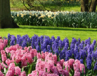 Pink and Blue Hyacinth flower bulbs in spring