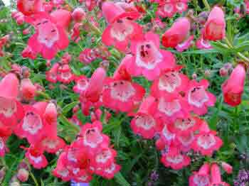 Pink Penstemon flowers