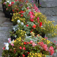 Barrels of bedding plants