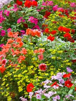 A selection of Summer Bedding plants