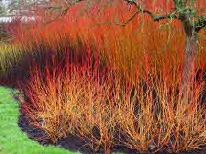 Masses of winter stems from Cornus and Willows