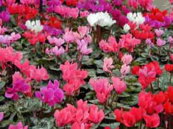 Cyclamen mini mixed