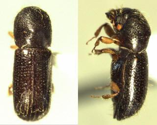 A Bark Beetle
