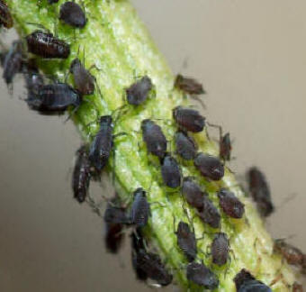 Black Fly Aphid - The Bean Aphid