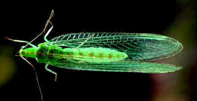 The common Lacewing