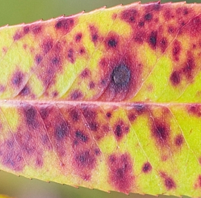 Photinia Red Robin with Leaf Spot
