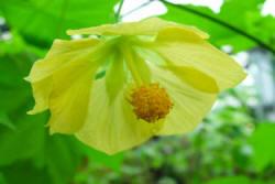 The Yellow Flower of the Canary Bird Abutilon