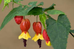 The drooping bell flowers of the abutilon megapotamicum