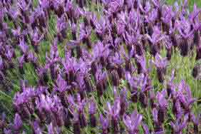 The French Lavender - Butterfly Lavender Lavandula stoechas
